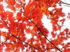 コハウチワ紅葉
