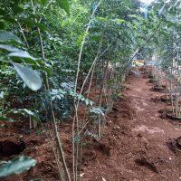 自然樹形シマトネリコ
