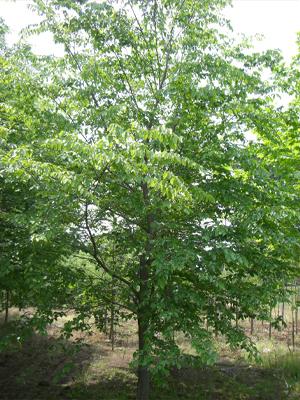 アカシデ単木5.0m