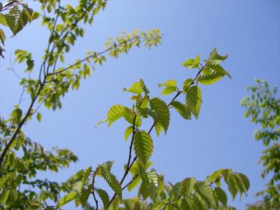 アカシデ枝葉
