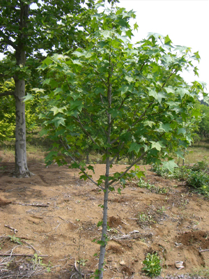 アメリカフウ単木1.5m