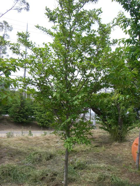 エゴノキ 単木3.0m