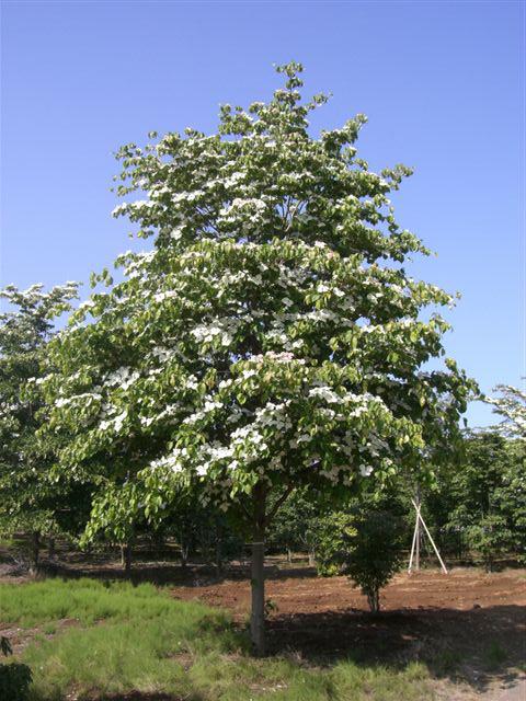ハナミズキ白花 単木4.0m