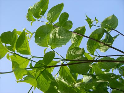 ハナミズキ 新緑と濃紫の枝先