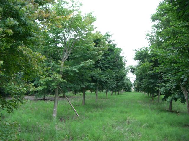 イロハモミジ単木4.0m-5.0m
