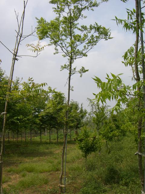 カイノキ 単木3.0m