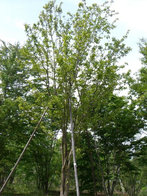 カリン 単木6.0m