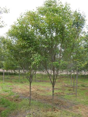 コヒガンサクラ 単木2.5m