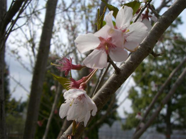 コヒガンサクラ 花