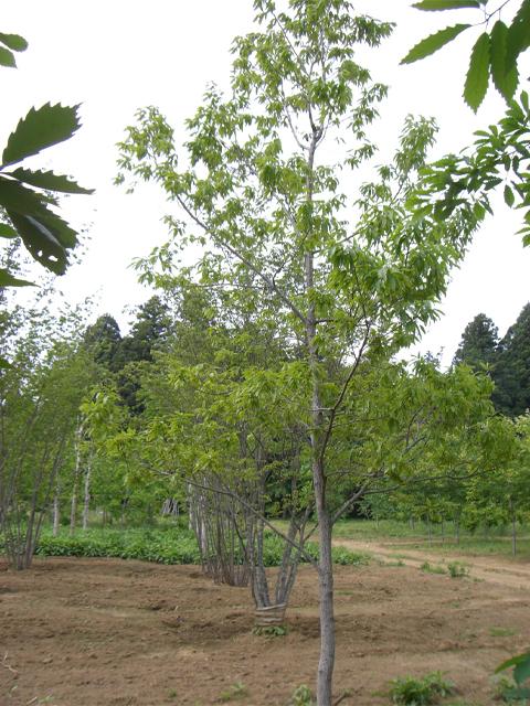 クヌギ 単木4.0m