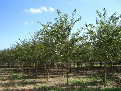 オオシマサクラ 単木3.0m