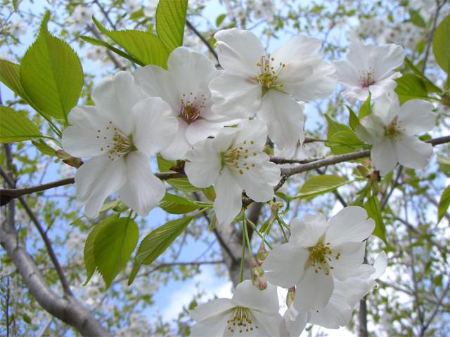 オオシマサクラ 花