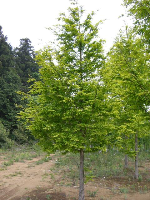オウゴンメタセコイア 単木4.0m