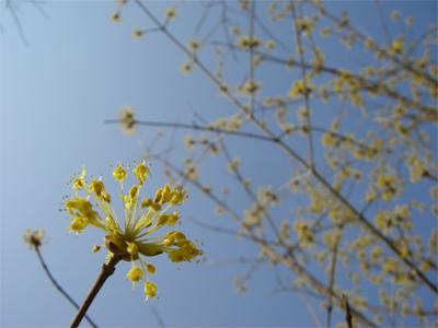 サンシュユ 花と枝先