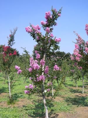 サルスベリ ピンク花