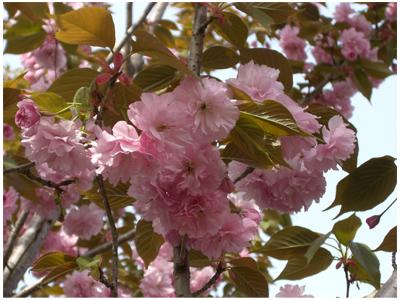 サトサクラ 花(2)
