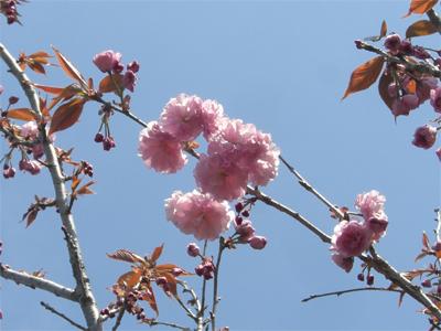 サトサクラ 花  (1)
