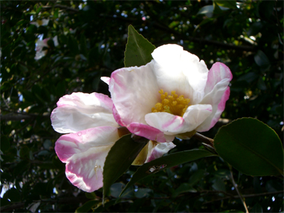 サザンカ花