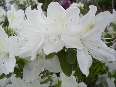 シロリュウキュウ花