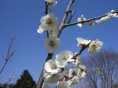 ウメ 白花