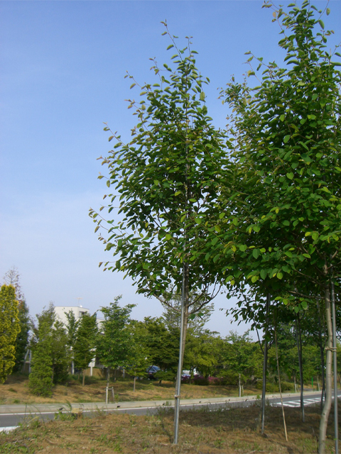 ザイフリボク 単木2.0m
