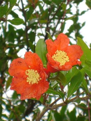 ザクロ 花